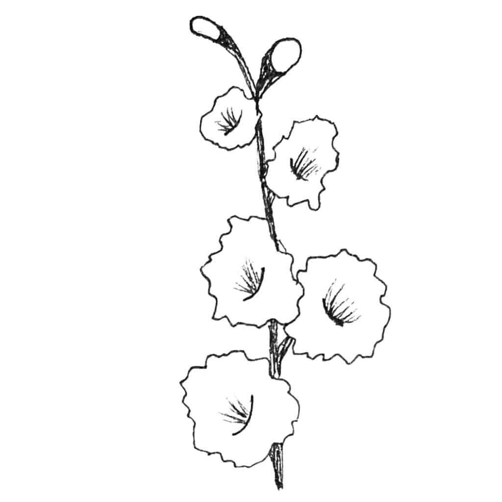 Illustration Gladiole