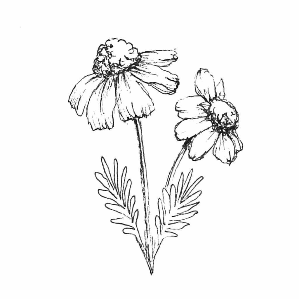 Illustration Kamille